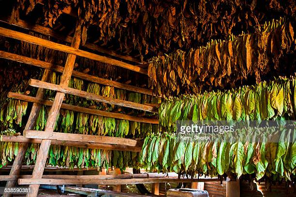 Tobacco leaves at various stages hang from rafters, drying, inside a thatch-roofed hut.