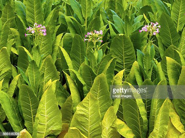 Tobacco leaves beginning to flower