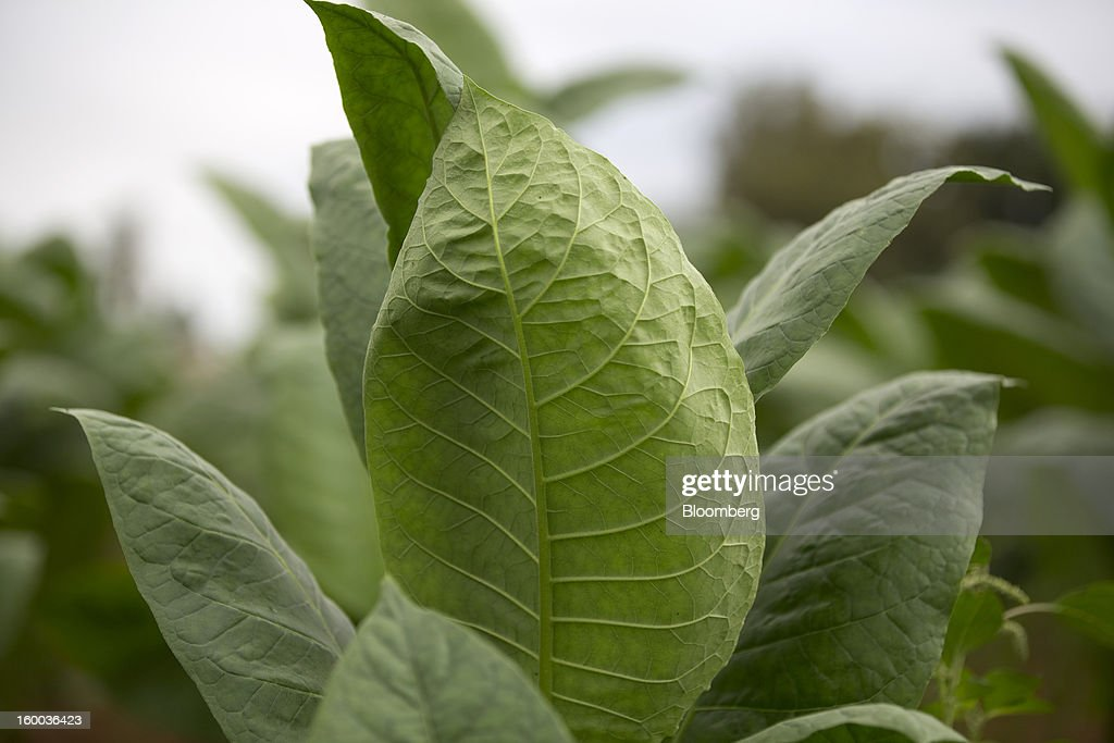 Tobacco leaves grow in a field before harvesting on a plantation near Pinar del Rio, Cuba, on Monday, Jan. 14, 2013. In a country where the average monthly salary is $19, according to Cuba's statistics agency, even buying an airplane ticket will be beyond the reach of most of the island's 11 million residents as President Raul Castro begins easing travel rules on the communist island. Photographer: Andrey Rudakov/Bloomberg via Getty Images