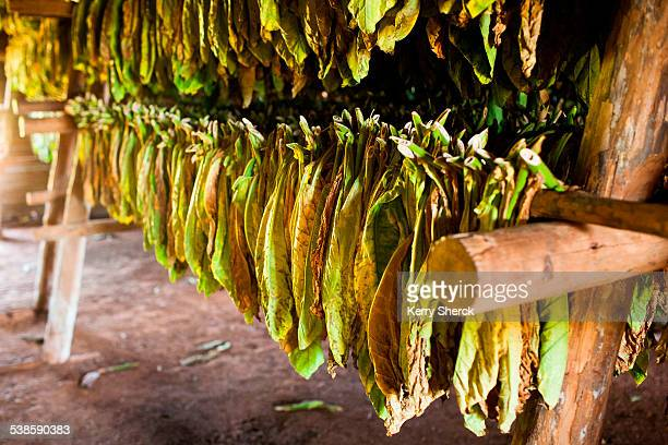 Tobacco leaves hang to dry inside a thatch-roofed hut. (detail)