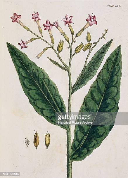 Tobacco Plant by Elizabeth Blackwell