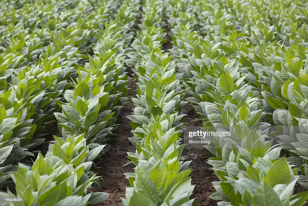 Tobacco plants grow on a plantation near Pinar del Rio, Cuba, on Monday, Jan. 14, 2013. In a country where the average monthly salary is $19, according to Cuba's statistics agency, even buying an airplane ticket will be beyond the reach of most of the island's 11 million residents as President Raul Castro begins easing travel rules on the communist island. Photographer: Andrey Rudakov/Bloomberg via Getty Images