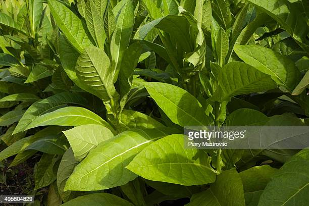 Tobacco plants -Nicotiana tabacum-, Montreal, Quebec Province, Canada