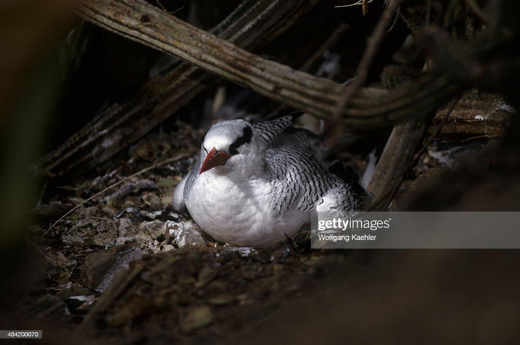 Tobago, Little Tobago Island, Red-billed Tropic Bird On Nest.