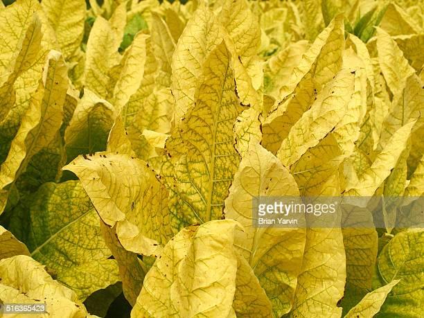 Tobbaco plants