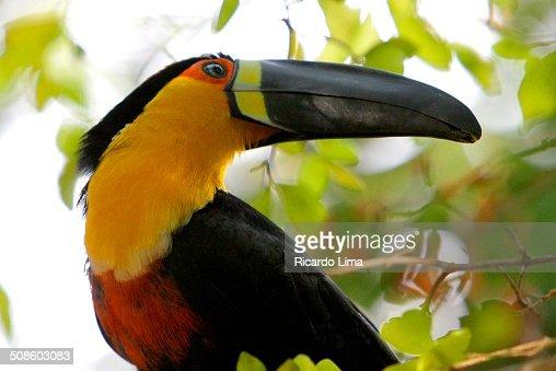 Toco Toucan Amazon Region Brazil : Stock Photo