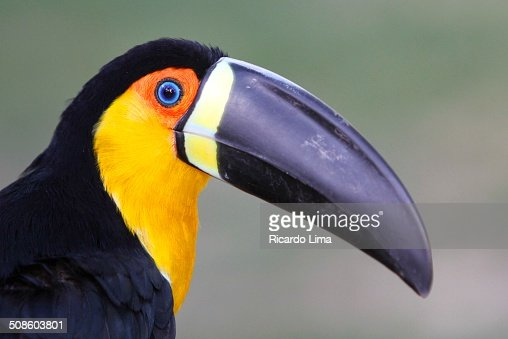 Toco Toucan Amazon Region : Foto de stock