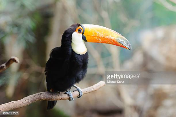 Toco Toucan, bird in the family Ramphastidae