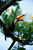 Toco toucan (Ramphastos toco) on branch, Pantanal, Brazil