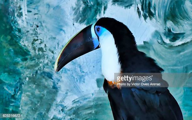 Toco-Toucan (Ramphastos toco) in fron of a distressed painted wall