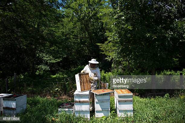 Todd Leopold a beekeeper and owner of Bureau County Honey Co tends to beehives in Hennepin Illinois US on Thursday July 3 2014 Bees pollinate scores...