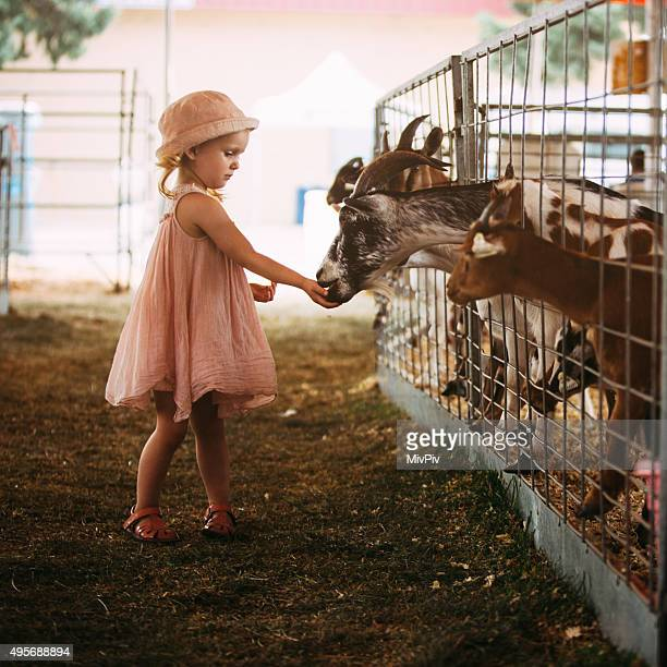 Toddler feeding goats