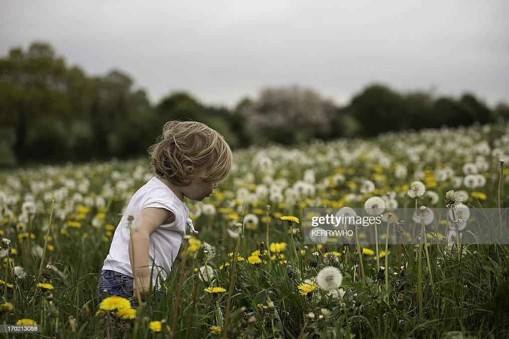 Toddler walking in a field of dandelions : Stock Photo
