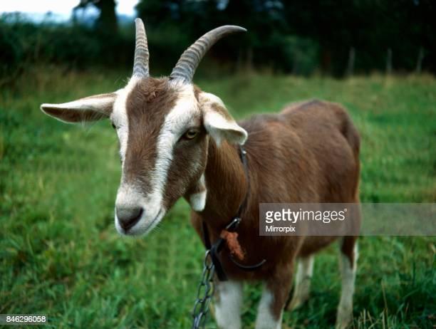 Toggemburg goat posing for the camera January 1980