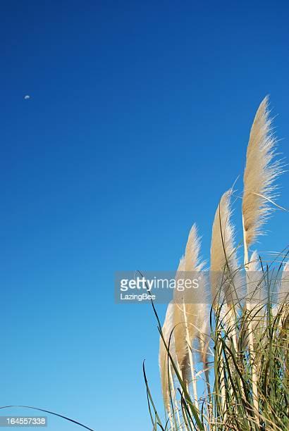 'Toitoi' or 'Toetoe' Grass Heads, Sky & Moon