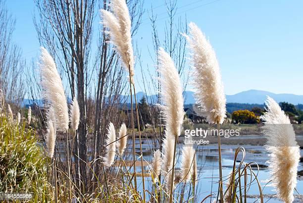 'Toitoi' or 'Toetoe' Grass, Mapua Estuary, NZ