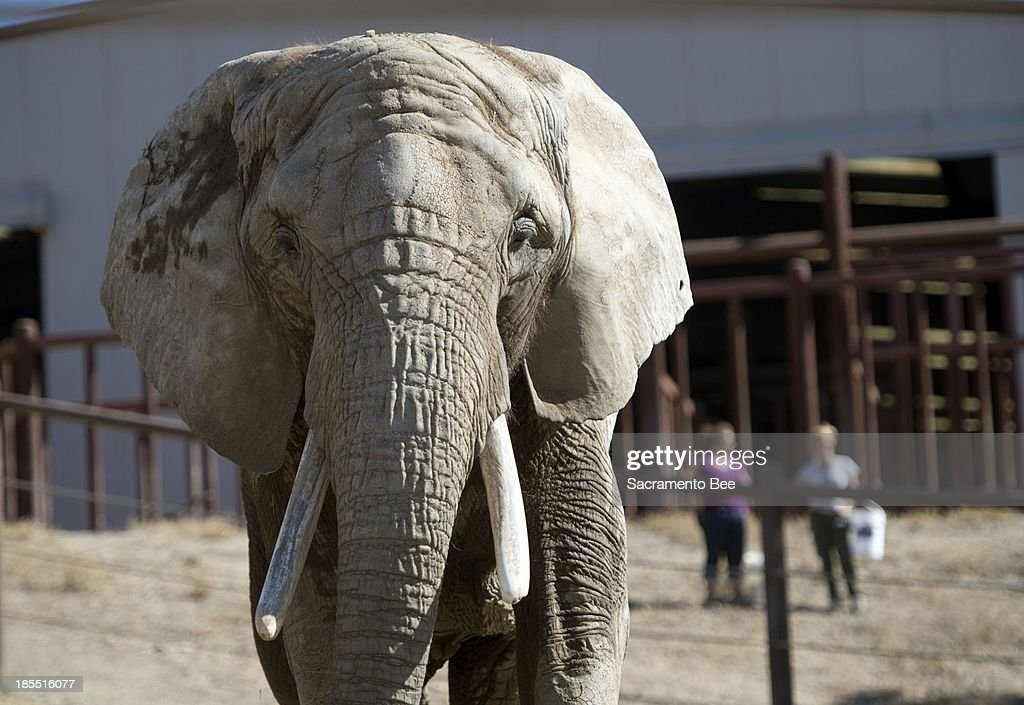 Toka, 43, enjoys her time outside the Performing Animal Welfare Society (PAWS) ARK 2000 sanctuary on Monday, October 21, 2013, in San Andreas, California, after arriving yesterday by truck from the Toronto Zoo in Ontario, Canada.