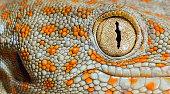 Tokay Gecko eye close up