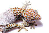 Tokay Gecko white isolated background
