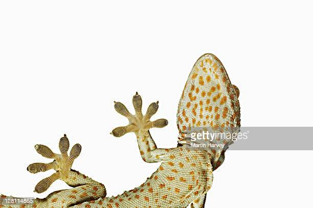 Tokay gecko (Gekko gecko). View from below showing specially adapted feet. Dist. South East Asia.