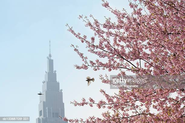 Tokyo, Japan, flowers blossoming on Cherry tree