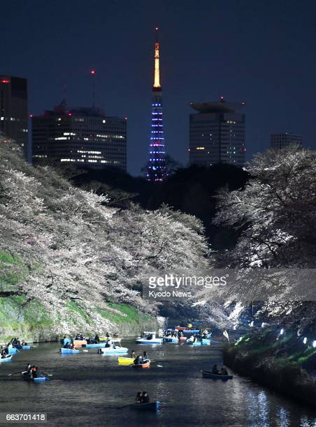 Tokyo Tower is lit up in blue on April 2 to commemorate World Autism Awareness Day In the foreground are cherry blossoms hanging over Chidorigafuchi...