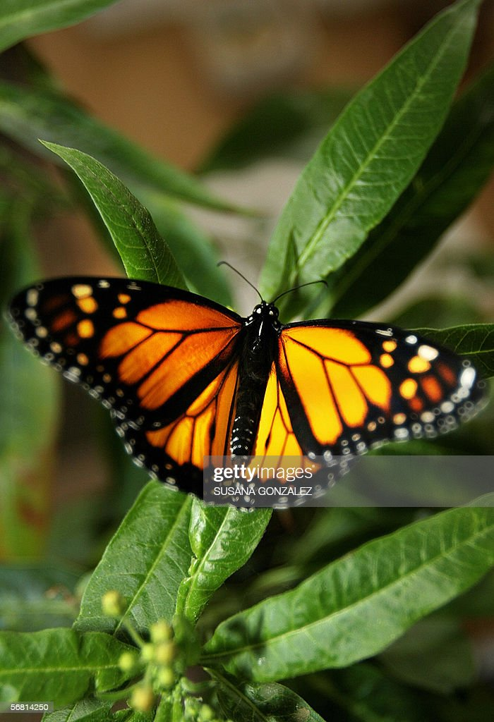 A monarch butterfly alights on a milkweed during the breed process in captivity 07 February 2006 in the University of the State of Mexico laboratory...
