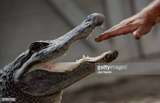 Tom Batchelor puts his hand in the mouth of an alligator during a wildlife show at the Gator Park in the Florida Everglades May 17 2006 in MiamiDade...
