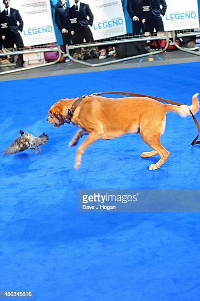Tom Hardy's dog Woody attacks a pigeon as it attends the UK Premiere of 'Legend' at Odeon Leicester Square on September 3 2015 in London England