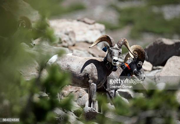 Tom Stephenson a biologist with the California Department of Fish and Game working on the Sierra Nevada Bighorn Sheep Recovery Program used a VHF...