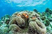 Tomato Clownfish and soft coral underwater