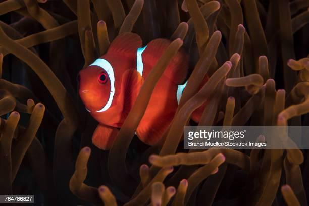 Tomato clownfish in North Sulawesi, Indonesia.