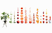 Tomato dissection: from plant to ketchup.