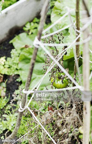 Tomato growing in garden