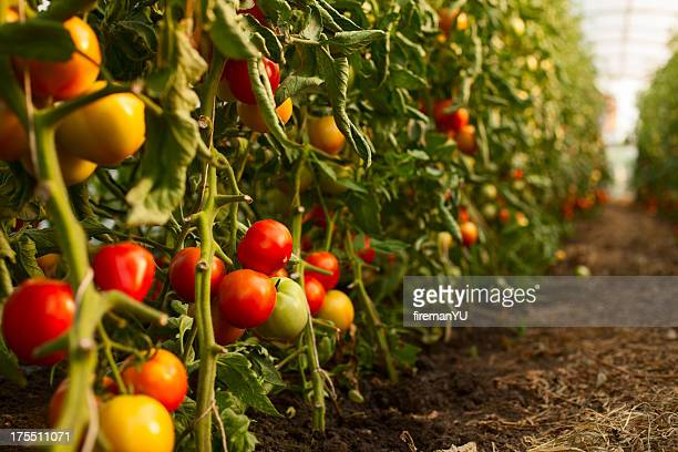 Tomato growing in greenhouse
