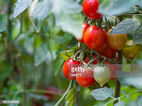 Tomato Plant Close-up - 2 : Stock Photo
