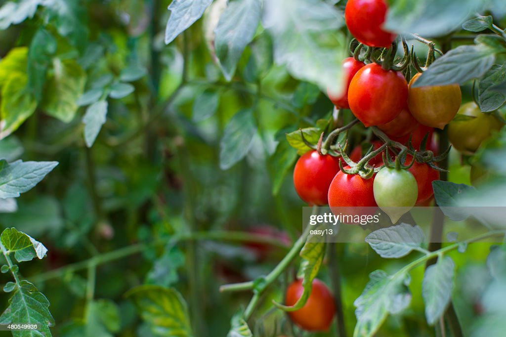 Planta de tomate primer plano : Foto de stock