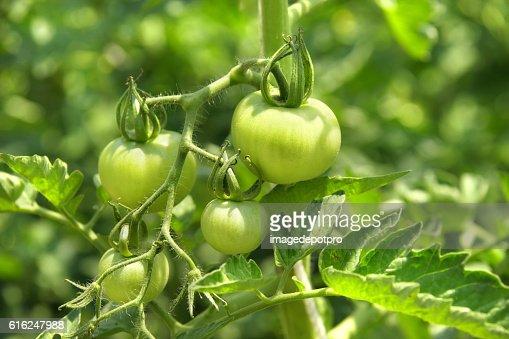 Tomateiro : Foto de stock