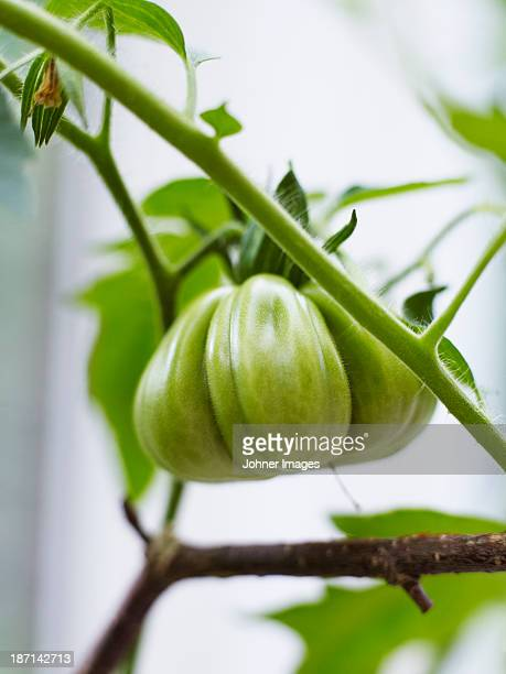 Tomato plant with small green tomato and flowers