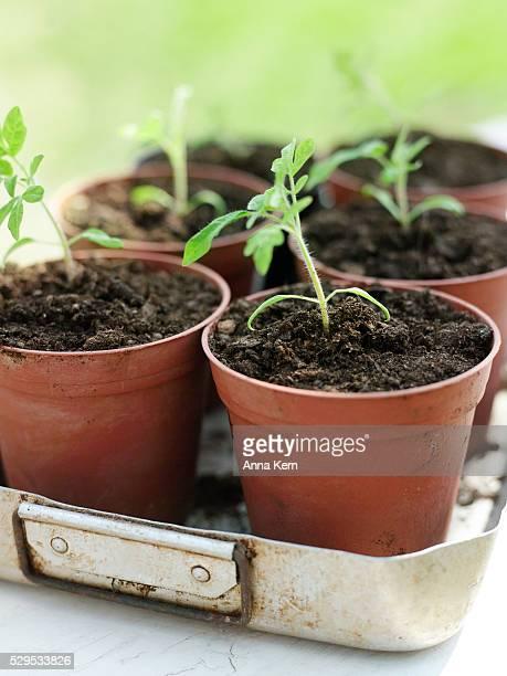 Tomato plants in pots