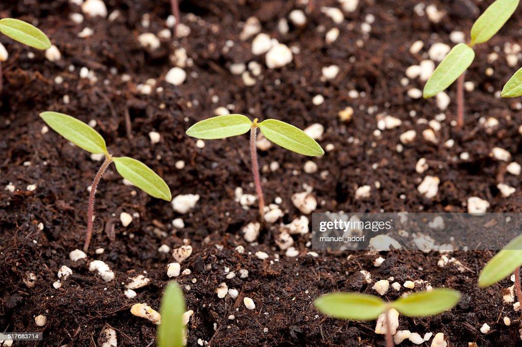 plantar tomates en macetas. beautiful plantar tomates en macetas