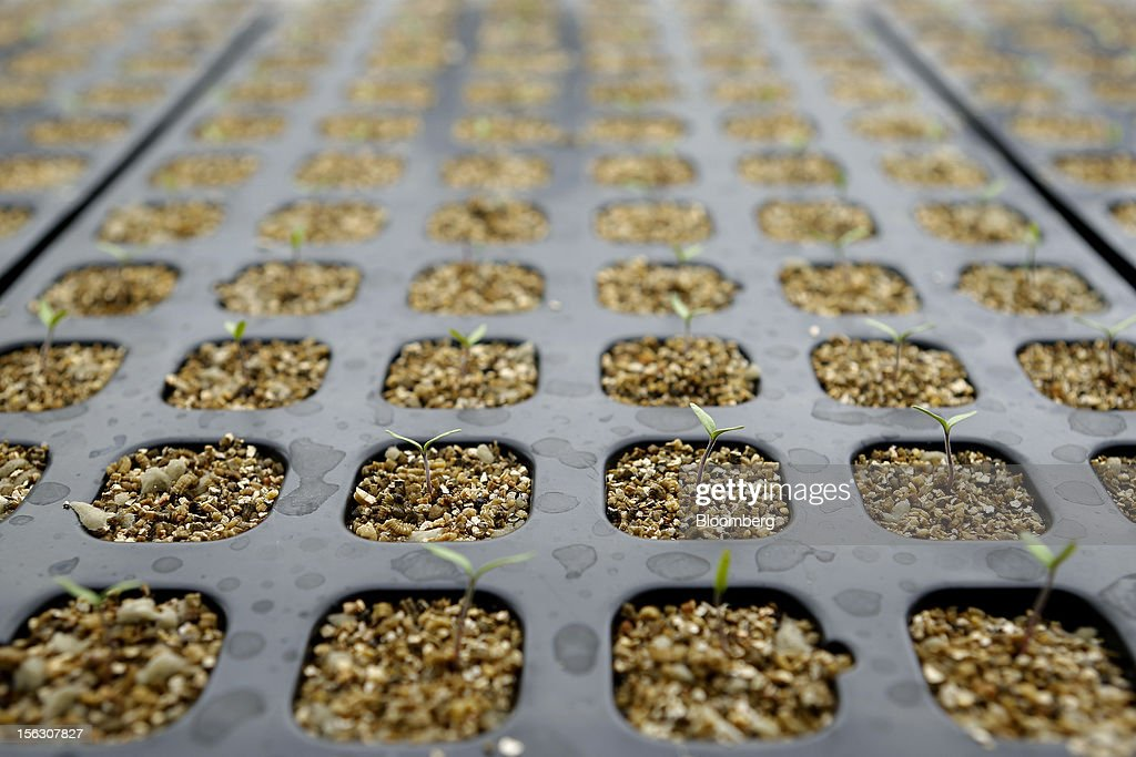 Tomato seedlings grow in a closed artificial light seedling production system, jointly developed by MKV Dream Co. and Chiba University, at the Plant Factory Center at the university's Kashiwanoha campus in Kashiwa City, Chiba Prefecture, Japan, on Monday, Nov. 12, 2012. Japanese consumers are closing their wallets as the economy's outlook darkens, making it harder for Prime Minister Yoshihiko Noda to stave off the nation's third recession in four years. Photographer: Kiyoshi Ota/Bloomberg via Getty Images