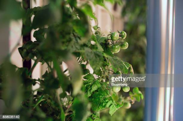 Tomatoes grow among a variety of test crops at Modular Farms Co headquarters in Brampton Ontario Canada on Friday Aug 11 2017 The popularity of...