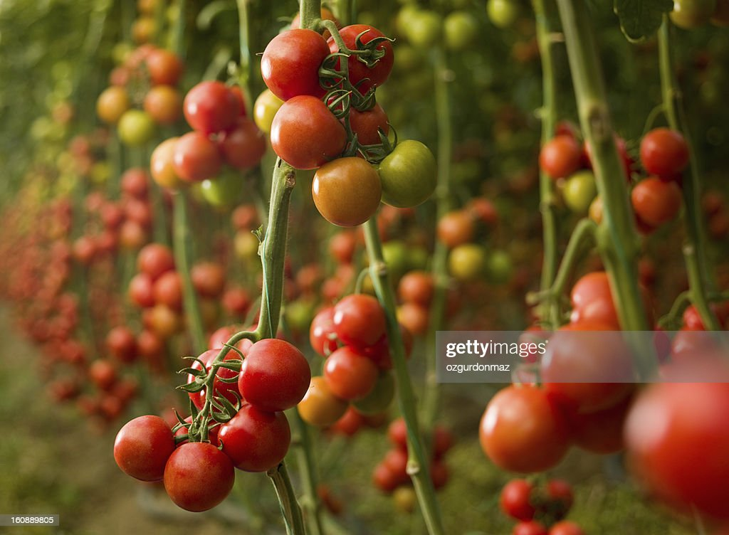 Tomatoes growing in a greenhouse : Stock Photo