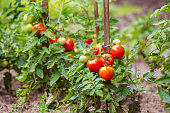 Ripe tomatoes growing on the branches - cultivated in the garden