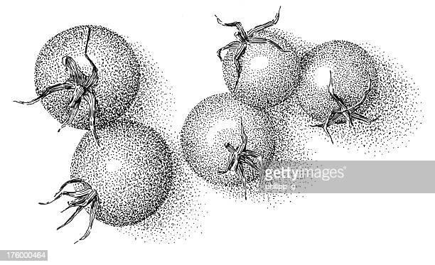 Tomates-inkdrawing