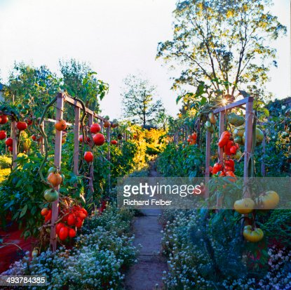 Tomatoes on Frames