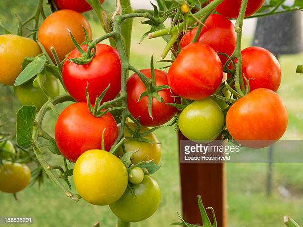 Tomatoes on the vine, growing in a greenhouse