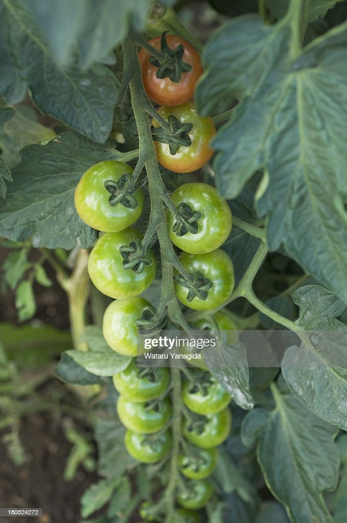 Tomatoes on vine : Stock Photo