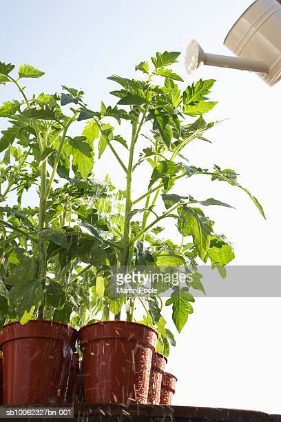 Tomatoes plants growing in flowerpots being watered with can, close-up, low angle